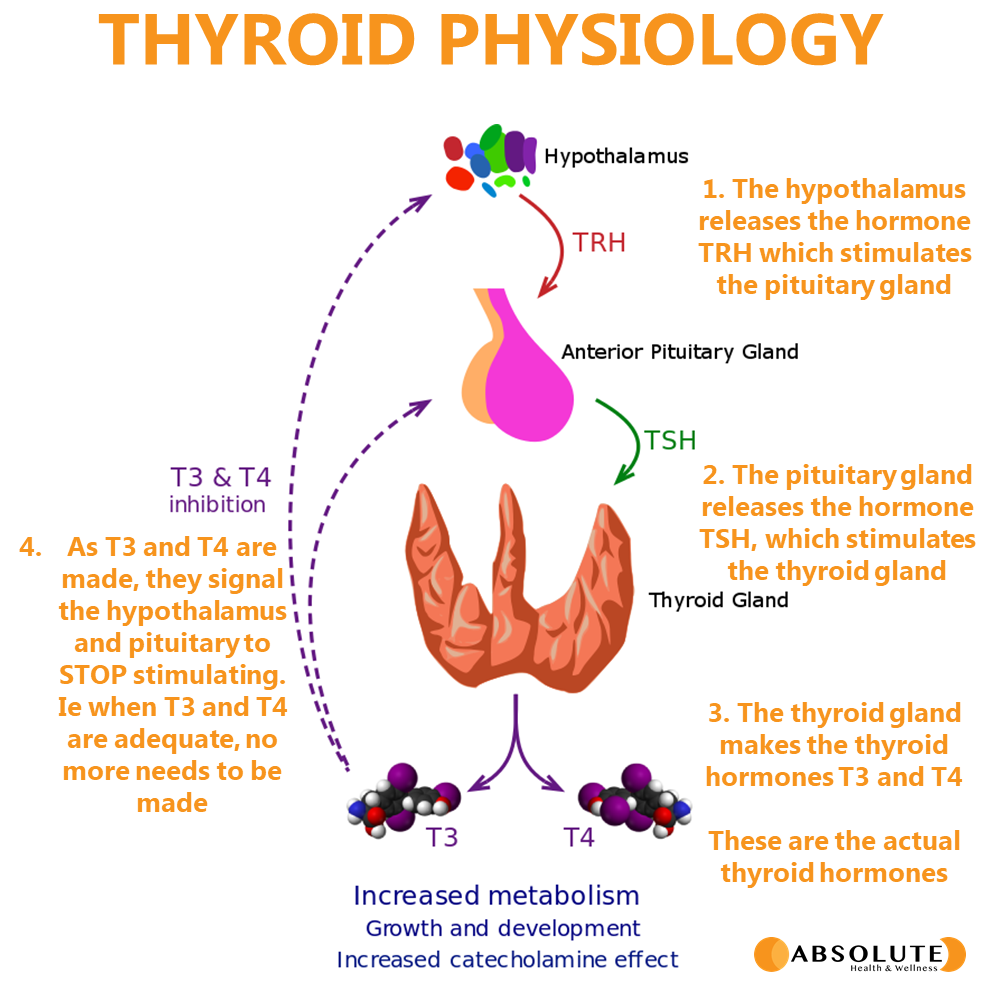 a full schematic of thyroid physiology, including hypothalamus, anterior pituitary gland, thyroid gland and the hormones TSH, T3 and T4